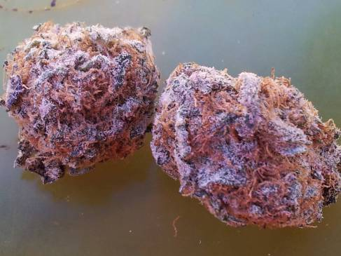 Big Top weed & Cotton Candy Kush weed