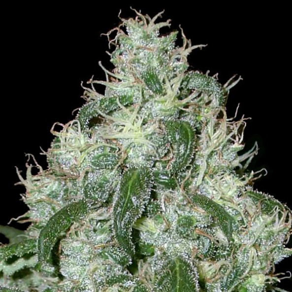 white widow weed marijuana - photo #45