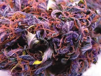 Double Black Doja weed